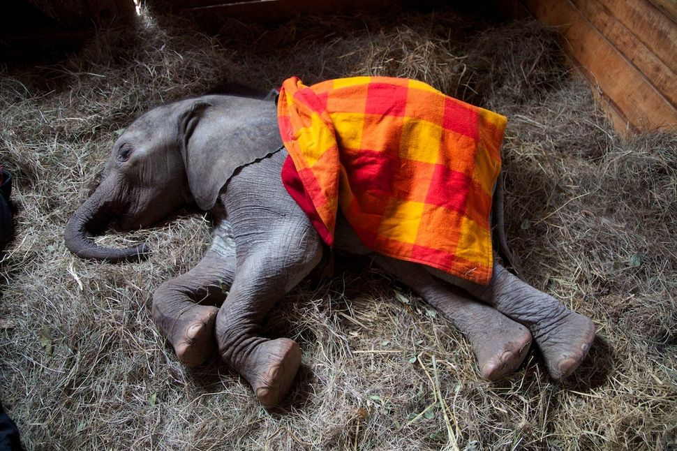 An elephant lies in a nursery stable after a rescue.