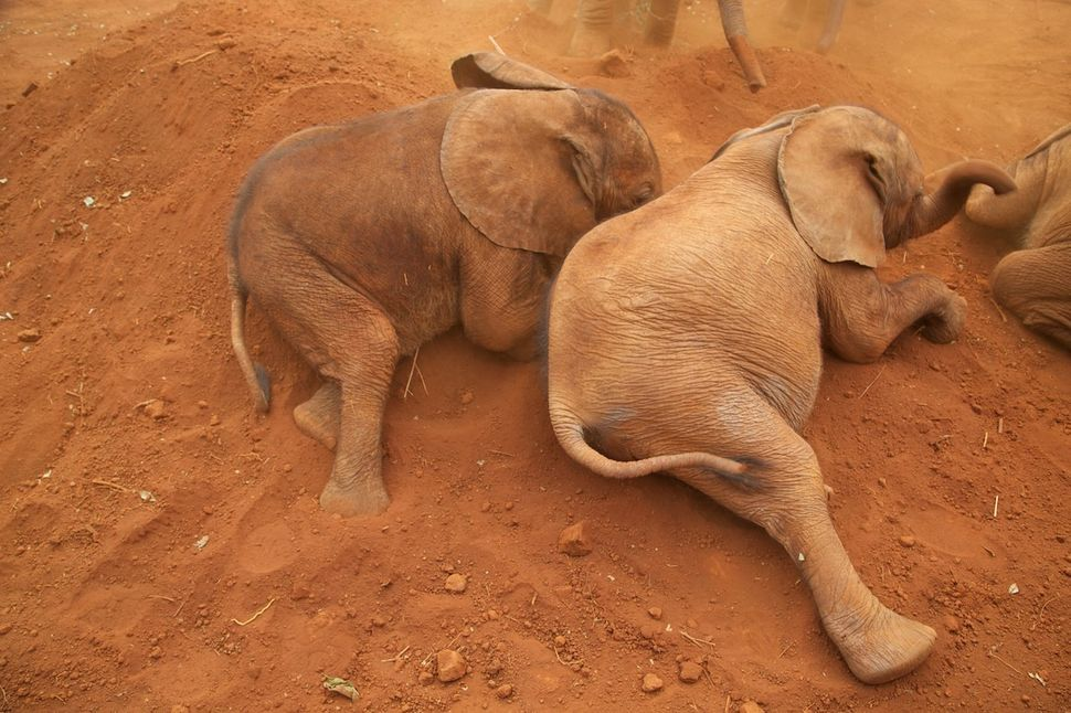 Once at the rehabilitation center, rescued baby elephants are placed with other orphans to help them overcome trauma.