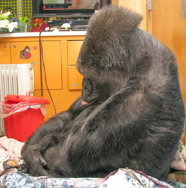 Koko looks somber after receiving news of Robin Williams' death.