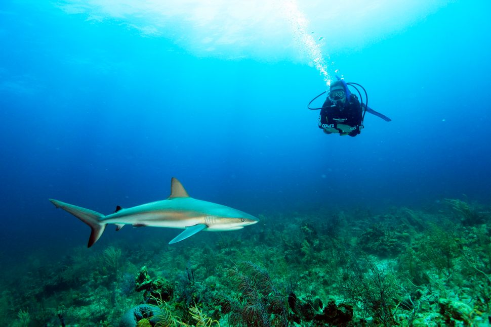 Tiger sharks, hammerheads, lemon sharks and more are visible at this shark sanctuary, which is just a quick hop from Florida.