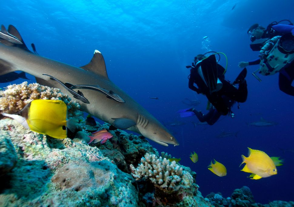 About 50 species of sharks live in the ocean around New Caledonia, a French archipelago in Melanesia. See some of those shark