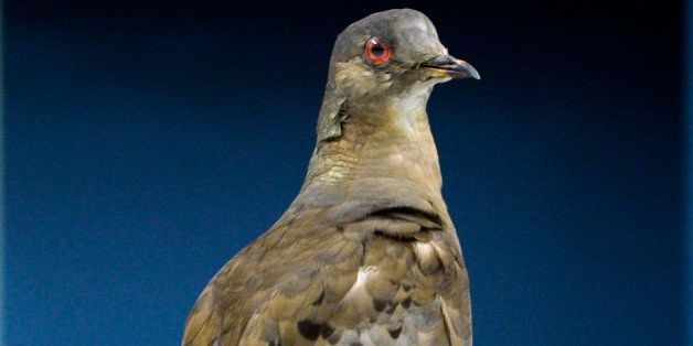 HOLD for Seth Bornenstein story-- Scientists prepare Martha, an extinct passenger pigeon, once the most plentiful bird on the