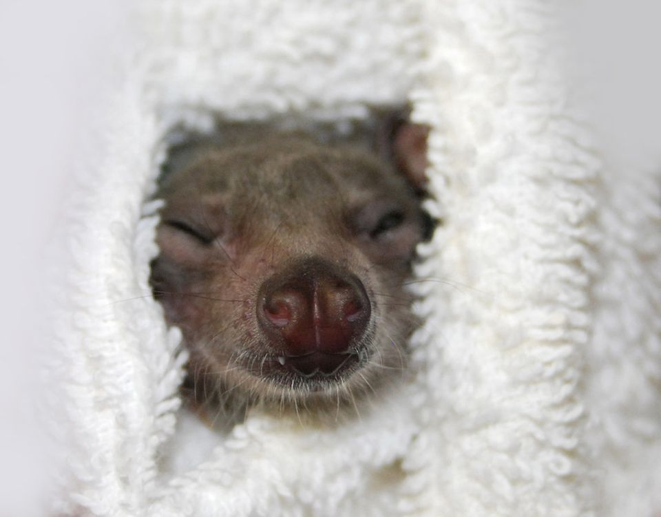 "See more photos of Peekaboo the smiling bat on <a href=""https://www.facebook.com/batworld/photos_stream"">the Bat World Sanctu"