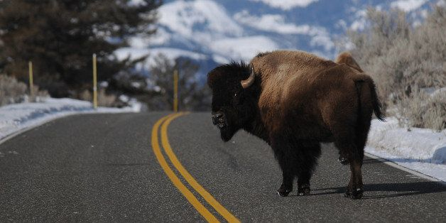 YELLOWSTONE NATIONAL PARK, MT - MARCH 5:A bison looks back as it crosses the road near Lamar Valley in Yellowstone National P