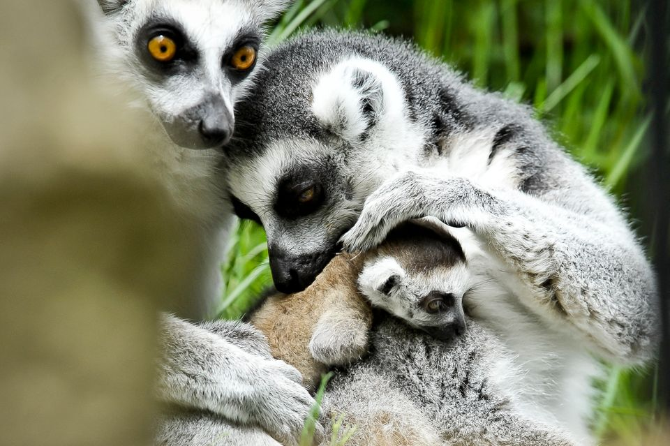 Rascal the newborn ring tailed lemur is cuddled by mum Roxy (right) and dad Rakota (left) at Bristol Zoo Gardens, where Rasca