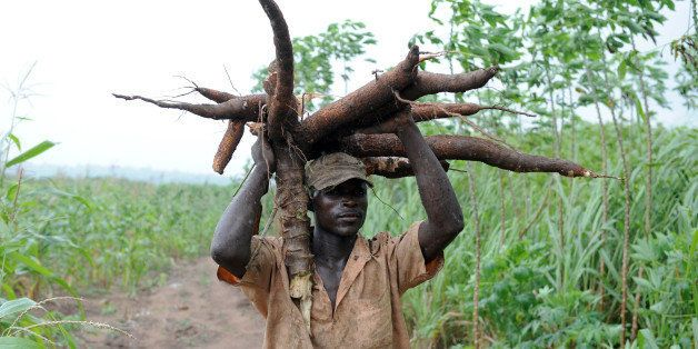 TO GO WITH AFP STORY BY Sophie MONGALVY -- A farmer carries a bunch of cassava roots in Oshogbo, Osun State on August 26, 201