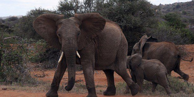 TO GO WITH AFP STORY BY AYMERIC VINCENOT  Juveniles from a family of Elephants react as a vehicle approaches on August 6, 20