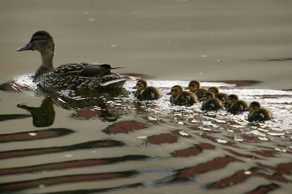 """Mallard ducks in California have<a href=""""http://cdfgnews.wordpress.com/2014/05/29/cdfw-completes-2014-waterfowl-breeding-popu"""