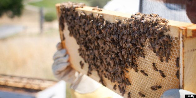 A person is wearing protective gloves and clothing.  They are holding up a frame from a man made beehive.  The frame is cover