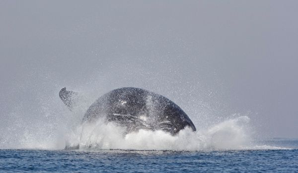 A huge humpback whale leaps out of the water in an amazing display of strength and agility. These awe inspiring pictures were