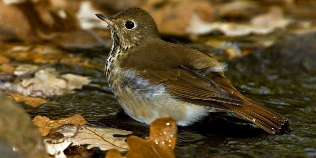 Minnesota, Mendota Heights, Hermit Thrush. (Photo by: Universal Images Group via Getty Images)