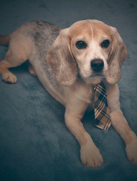 Casper the beagle, post-rescue.