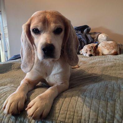 Casper the rescue beagle.