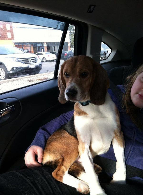 Jack, one of four rescue beagles from the Chicago area, rides home.