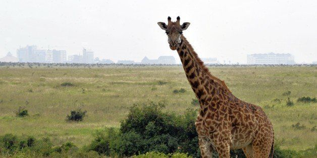 A giraffe grazes inside the Nairobi National park on June 8, 2012 approximately 7 kilometers south of the captal. The lions h
