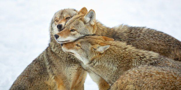 California First State To Ban Wildlife-Killing Contests, Activists