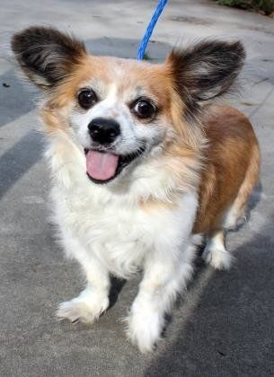 Kipper is a male Long Haired Chihuahua mix about 8 years old. This little guys is such a love bug, he looks to crawl into you