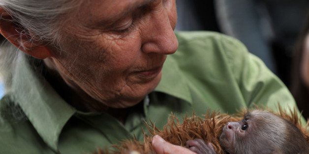 British anthropologist and primatologist Jane Goodall holds a baby Cariblanco monkey (cebus capucinus) during her visit to th