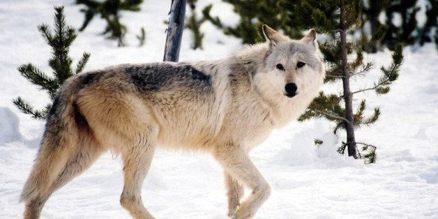 This undated image provided by Yellowstone National Park, Mont., shows a gray wolf in the wild inside the park. Montana Fish,