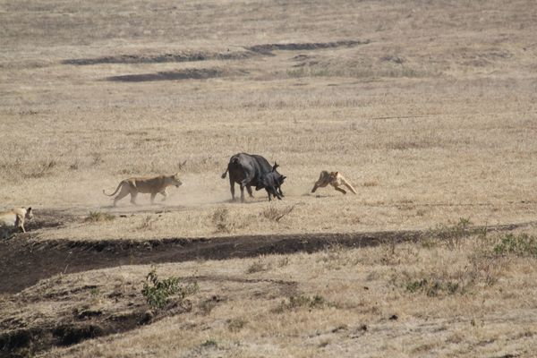 This is the moment a brave buffalo and her young staved off a savage attack from a pack of lions before giving the big cats a