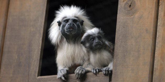 A Cottontop Tamarin monkey (Saguinus oedipus) born in captivity one month ago is seen beside its mother on November 6, 2009 a