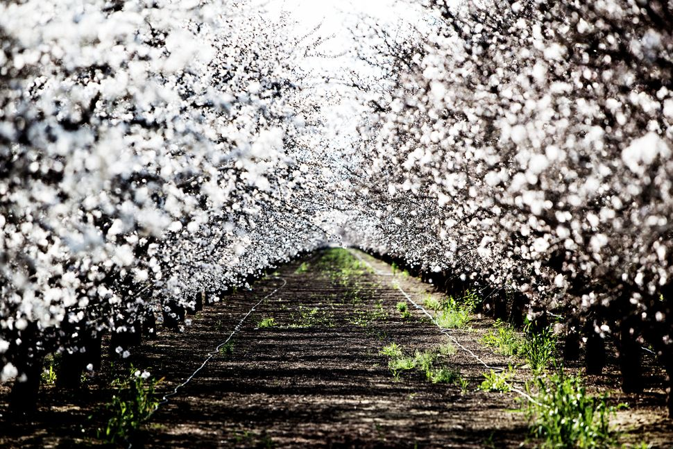 Almond orchard. Firebaugh, Calif.