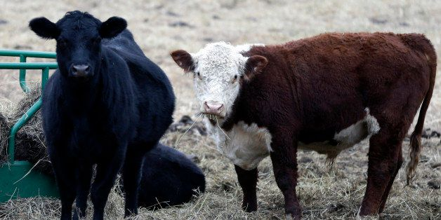 Cattle feed in a pasture near Lecomption, Kan., Thursday, Dec. 4, 2014. All-time high cattle prices will be a topic at the Ka