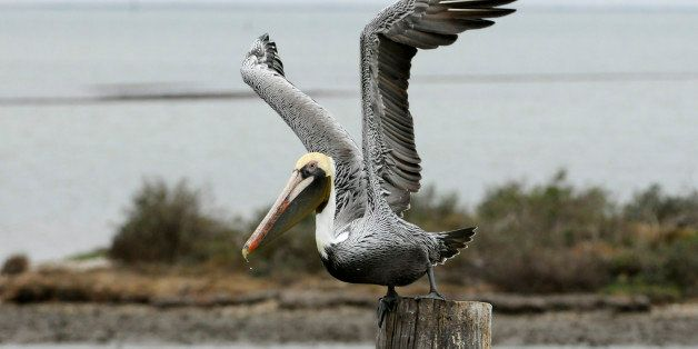A brown pelican prepares to take flight Dec. 17, 2011, in Rockport, Texas. (AP Photo/Pat Sullivan)
