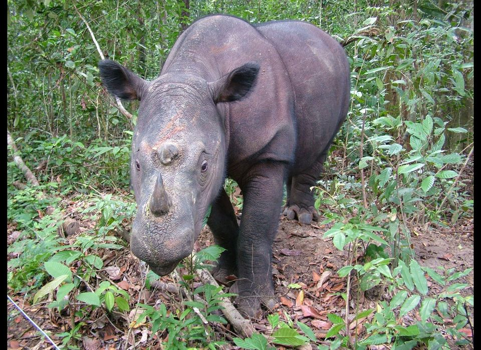 <strong>Scientific Name:</strong> <em>Diceros sumatrensis</em>  <strong>Common Name: </strong>Sumatran rhino  <strong>Cat