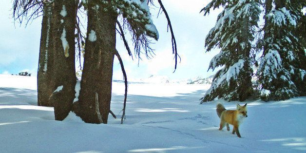 In this Dec. 13, 2014 image provided by the National Park Service from a remote motion-sensitive camera, a Sierra Nevada red