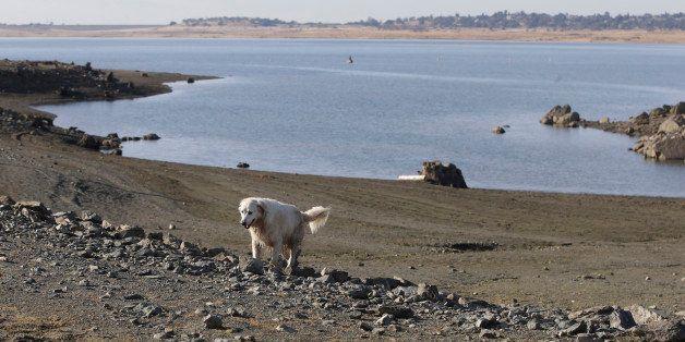 In this photo taken Monday Nov. 17, 2014,  a dog walks along the receding shoreline of drought stricken Folsom Lake near Fols