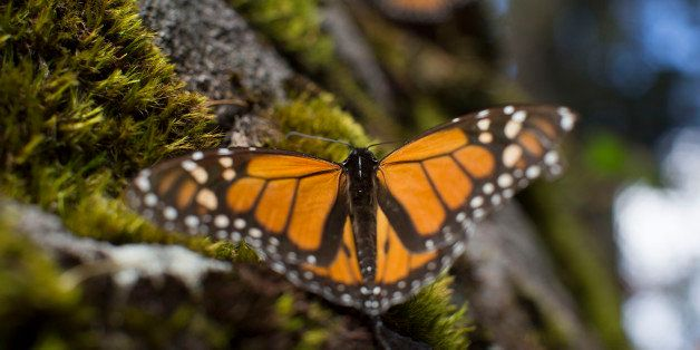 A monarch butterfly rests on a piece of moss at the Sierra Chincua Butterfly Sanctuary near Angangueo in the state of Michoac