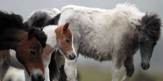 PRINCETOWN, ENGLAND - MAY 17:  A Dartmoor Hill pony foal walks with its mother and other adult ponies on the moor on Dartmoor
