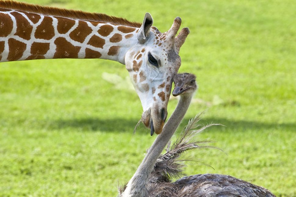 Bea, a three-year-old giraffe, and Wilma, an ostrich, have become the best of friends at Busch Gardens Tampa Bay's 65-acre Se