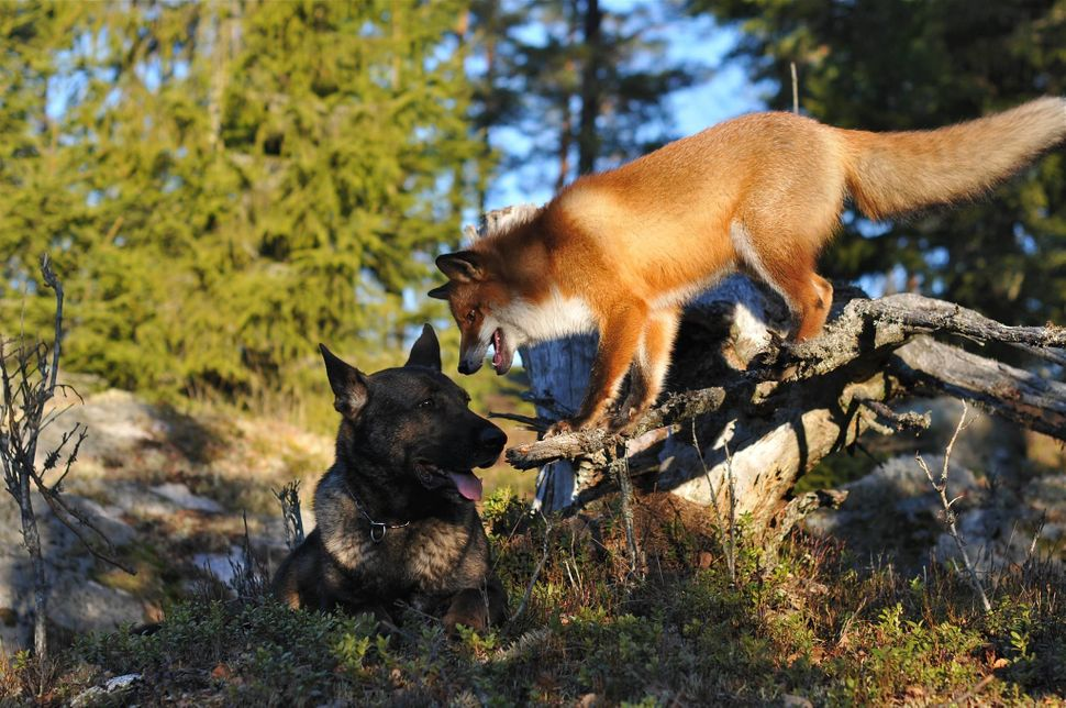 "Tinni the dog and Sniffer the fox hang out in Norway in 2014. <a href=""https://www.huffpost.com/entry/fox-and-hound-fur-indus"