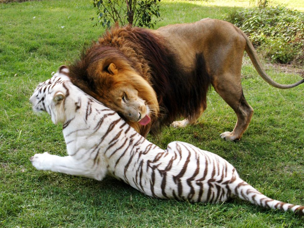 Lion Cameron and white tiger Zabu pictured at the Big Cat Rescue in Tampa, Florida.