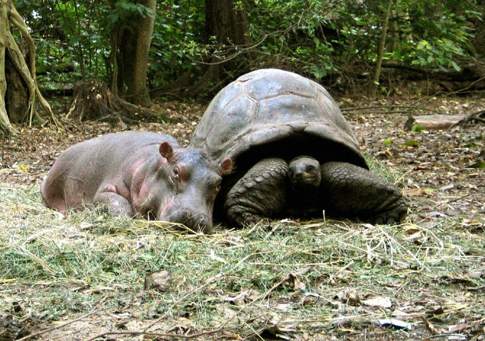 A baby hippopotamus that survived the tsumani waves on the Kenyan coast snuggles up to its new best friend, a giant century-o