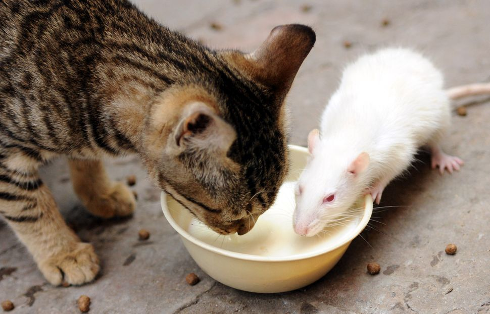 A rat and a cat drinking milk from the same bowl on February 12, 2015 in Patiala, India.