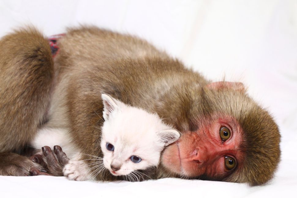 Macaque monkey Jaeda, 1, cuddling two 2 week old kitten Lilly in Pekin, Illinois.