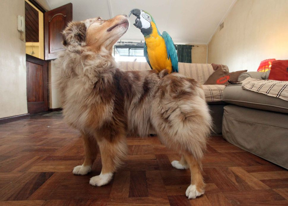 Australiah Shepherd, Kalula pictured with her friend, a macaw called Cuervo who loves to perch on Kalula's back on June 30, 2