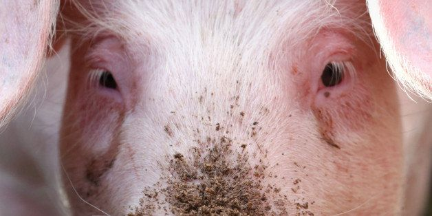 A pig is shown  at  an agricultural   fair  in Muehlengeez,  eastern Germany,  Sept. 11, 2014.  (AP Photo/dpa,Bernd Wuesteck)