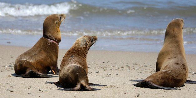 Hoppie, center, the sea lion rescued from an almond orchard, joins Eugene, left, and Fenimore, right, during their release ba