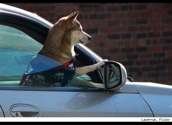 "Watching out for 5-0, no doubt. (Via <a href=""http://www.urlesque.com/2010/08/11/last-shot-car-dog/"" target=""_hplink"">Urlesqu"