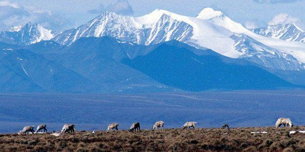 FILE -- Caribou graze on a section of the Arctic National Wildlife Refuge in Alaska in this undated file photo. The dispute o