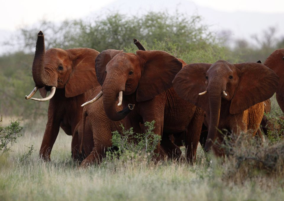 """Elephants are disappearing at an alarming rate, poached for their revered ivory.  Late last year, the <a href=""""http://www.tel"""