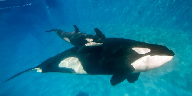 SAN DIEGO, CA - DECEMBER 02:  In this handout photo provided by SeaWorld San Diego, mom and baby killer whale swim together a