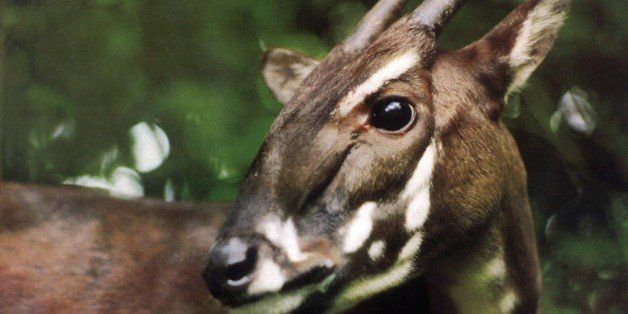 This undated photo released by the World Wide Fund for Nature, shows a saola, location unknown . Vietnam has set aside a sanc