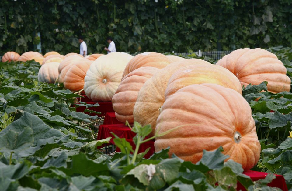 """The world's heftiest pumpkin weighed in at <a href=""""http://www.ovgpg.com/index.html"""" target=""""_hplink"""">1,725 pounds</a>.  The"""