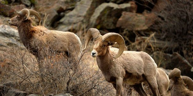 GOLDEN, CO. - February 14, 2015: Bighorn sheep foraging in Clear Creek Canyon near Golden.  February 14, 2015 Golden, CO (Pho