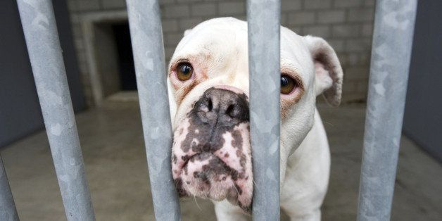 Homeless dog behind bars in an animal shelter